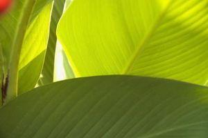 Er Canna Lilies Relatert til Bird of Paradise Plant?