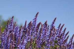 Perennial blomster som frastøter Insekter