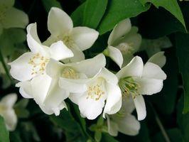Hvordan Gjødsle Jasmine Planter