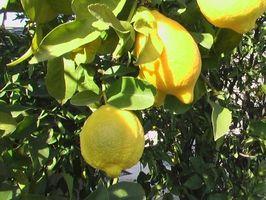 Det er Thorns på My Meyer Lemon Tree, og de er Turning Yellow