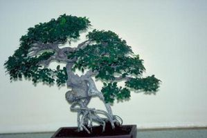 Hvordan Trim en Ficus Bonsai