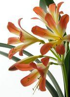 Hvordan dyrke en Clivia Plant