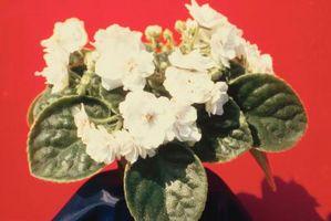 Hvorfor Leaves på afrikanske Violet Planter Turn Brown?
