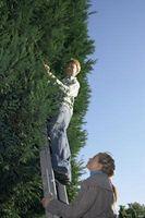 Hvordan å beskjære døde greiner på et Norge Spruce