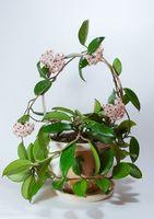 Hvordan lage Hoya Planter Flower