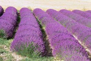 Lavendel vanning
