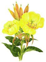 Wild Evening Primrose