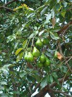 Når Do Avocado Trees bære frukt?