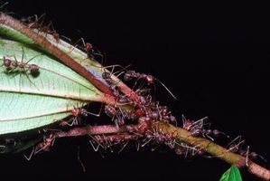Hvordan Kill Maur på en stueplante uten å drepe den Plant