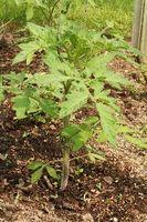 Er det ok å bruke mulch rundt tomatplanter å kontrollere ugress?