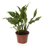 Hva som forårsaker brune flekker på planter?