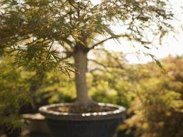 Hva Størrelse Er Bonsai Trees?