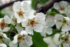 Hva er meningen med den Pear Blossom?