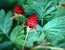 Plante Disorders på bringebær blader