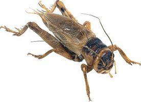 Naturlige måter å bli kvitt Basement Crickets