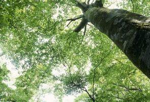 Hva ville føre til et hvitt skum Utslipp fra siden av et tre?