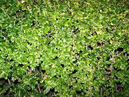 Gjødsel for en Privet Hedge