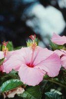 Hvordan legge til Ny Jord til en Hibiscus Houseplant