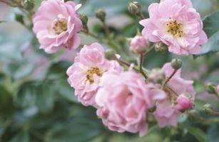 Rose Forplanter