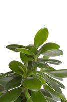 Hvordan Bind en Jade Plant