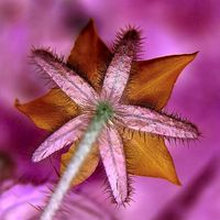 Informasjon om Orange Stjerne blomster