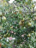 Hvordan Cut en Pear Tree