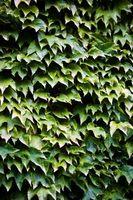 Hvordan Kill Ivy vokser rundt bunnen av et tre