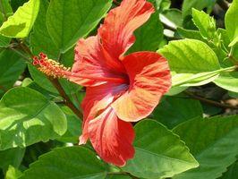 Hibiscus Flower Care