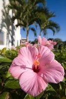 Har en Hibiscus Tree Liker sol eller skygge?