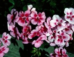 Hvordan lage Ivy Geranium borekaks