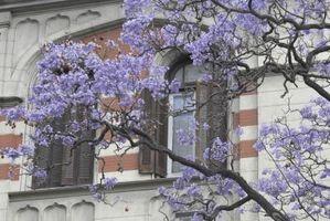Hvordan identifisere en lilla blomstrende tre