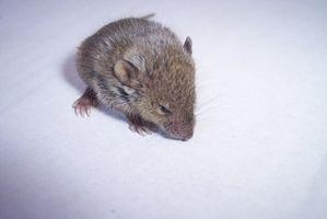 hvordan bli kvitt mus i huset