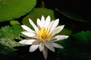 Blomster som symboliserer Tilfredshet & Glemsomhet