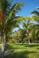 Planting og mellomrom av en Coconut Palm