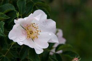 Hvordan fortelle om blomstene er monocots eller dicots