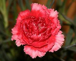 Hvordan å holde en Carnation Flower Alive