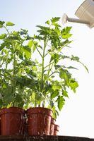 Hagebruk: tomater med gule blader