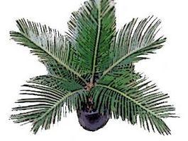 Hvordan Plant Sago Palms