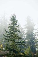 Hvordan Kill eviggrønne trær