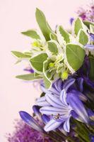 Når Do Du Plant Lavendel Mountain Lilies?