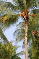 Coconut Tree Sykdommer