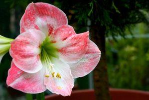 Hvordan Plant Amarylis