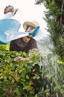 Har plantene vokser bedre med destillert, Flaske eller vann fra springen?