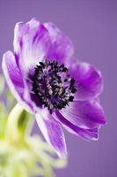 Bloom Boosters som påvirker Jord PH