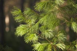 Hvordan Grow eviggrønne trær i Nevada