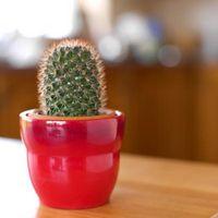 Hvordan Grow Innendørs kaktuser