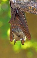Hvordan du trygt fjerne en Bat på House?