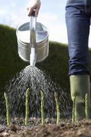 Hvordan New Asparges plantene ser?