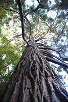 Store, høye trær