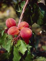 Hvordan spare en skadet Peach Tree